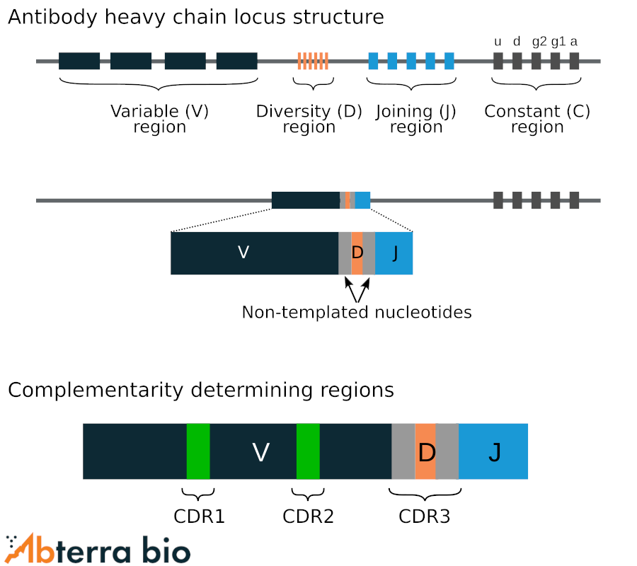 antibody heavy chain locus structure and complementary determining regions