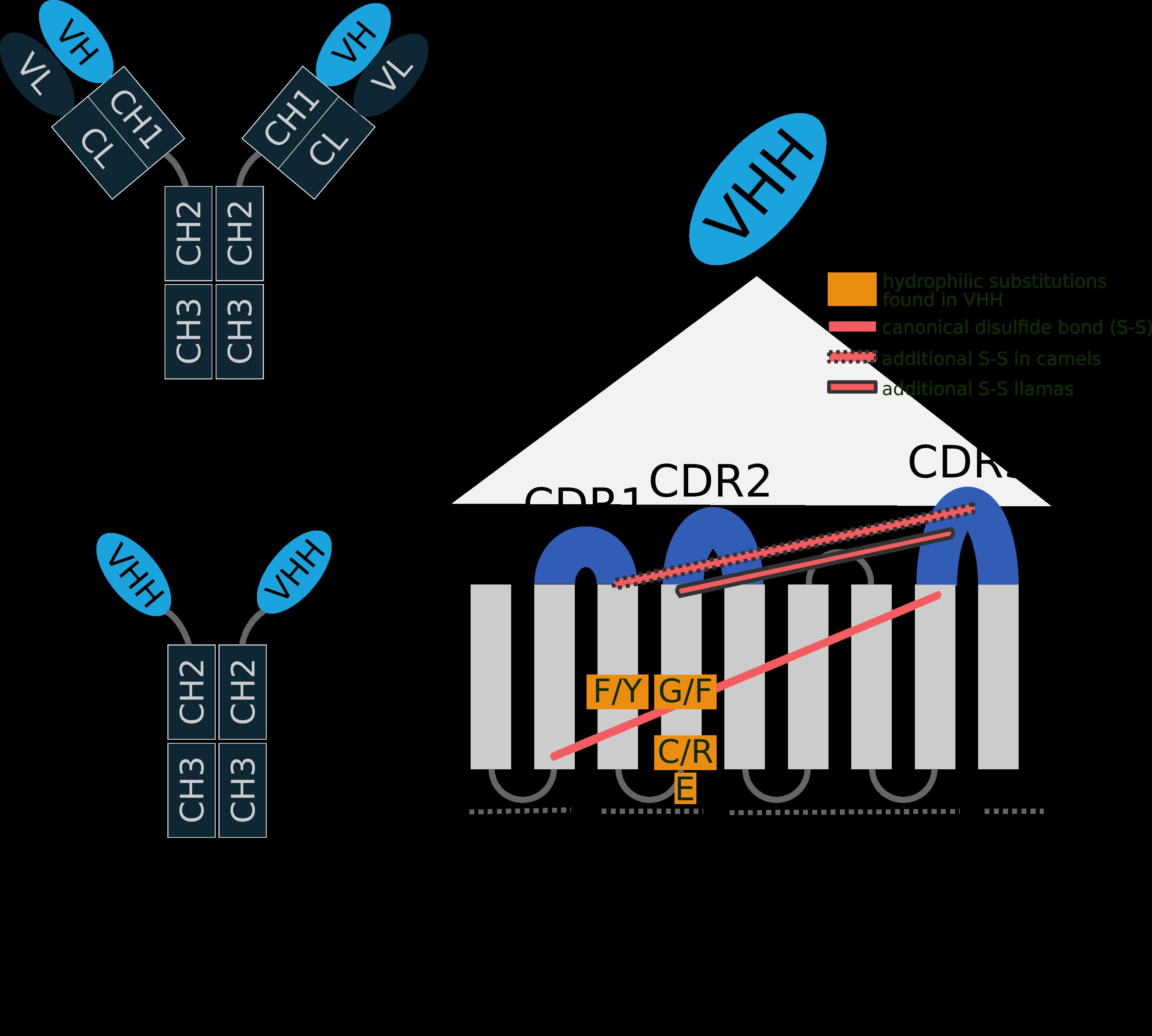 single chain antibody structure