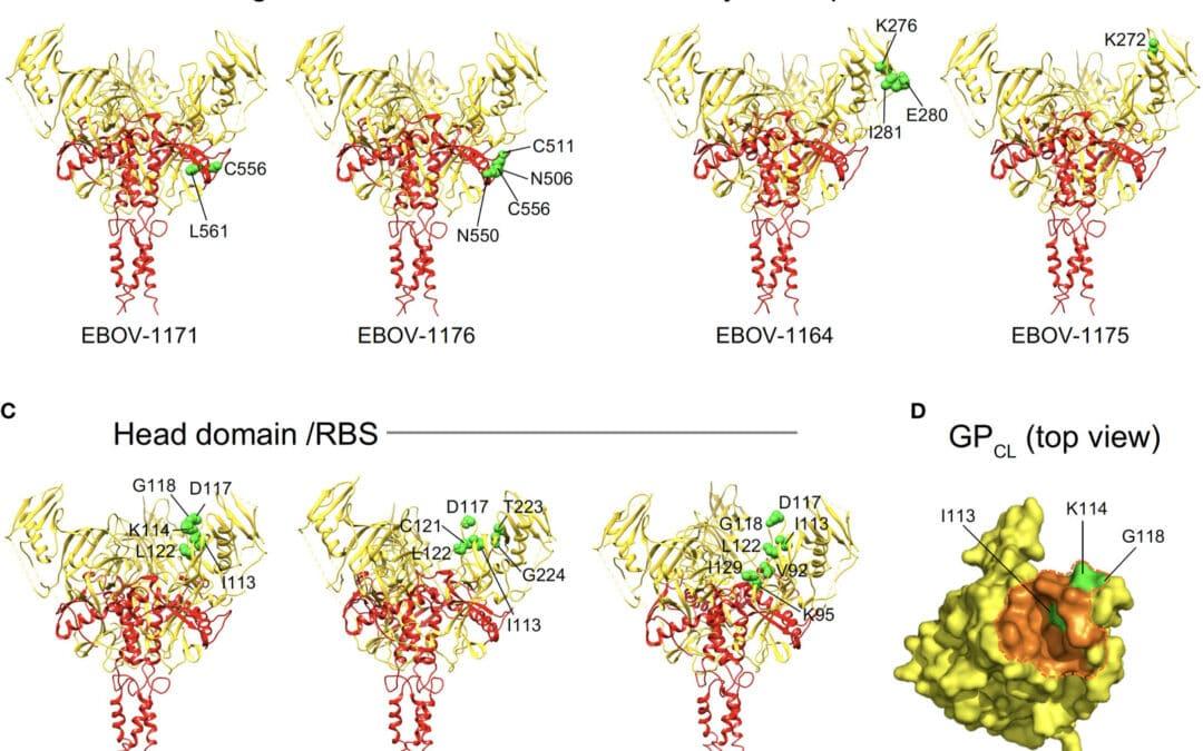 New Publication Reveals Ebolavirus-Neutralizing Monoclonal Antibodies