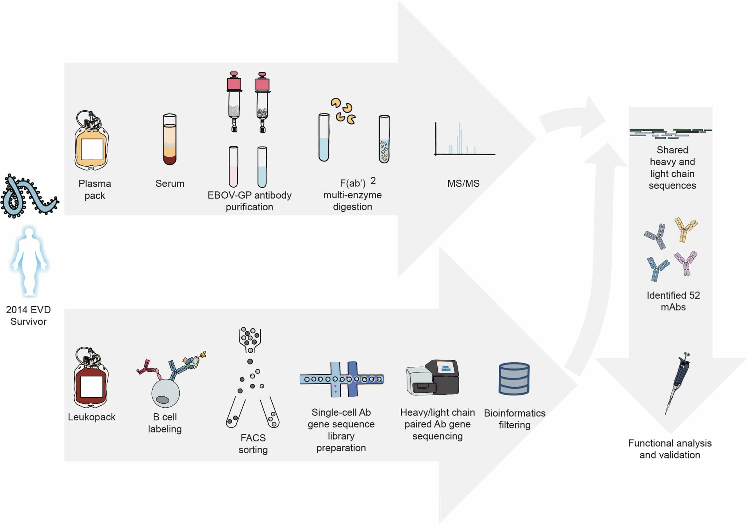 workflow shows affinity purification, mass spec and bioinformatic analysis